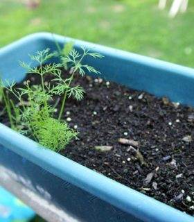 Growing and Transplanting in the Garden