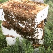 honey18
